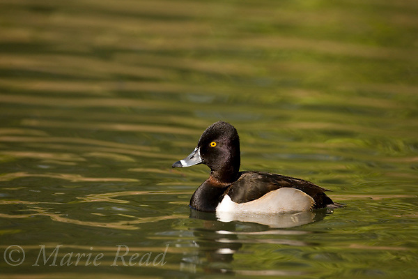 Ring-necked Duck (Aythya collaris) adult male, Orange County, California, USA