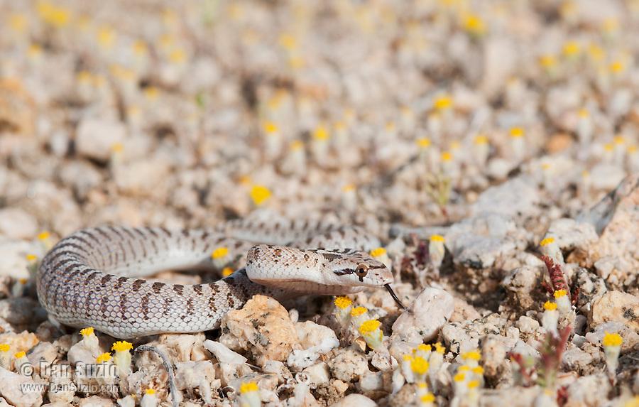 Juvenile Mojave glossy snake, Arizona elegans candida (Arizona occidentalis candida), in the Alabama Hills near Lone Pine, California