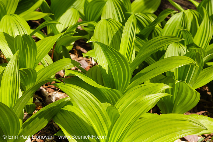 Indian Poke -Veratrum veride- during the spring months along the Cockermouth River in Groton, New Hampshire USA