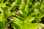 Indian Poke -Veratrum veride- along the Cockermouth River in Groton, New Hampshire during the spring months.