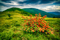 Looking to Grassy Ridge with flame azalea in forground