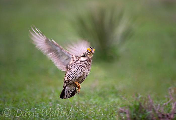 572110187 a wild lesser prairie chicken tympanuchus pallidicintus takes flight while on a lek on a remote ranch near canadian in the texas panhandle