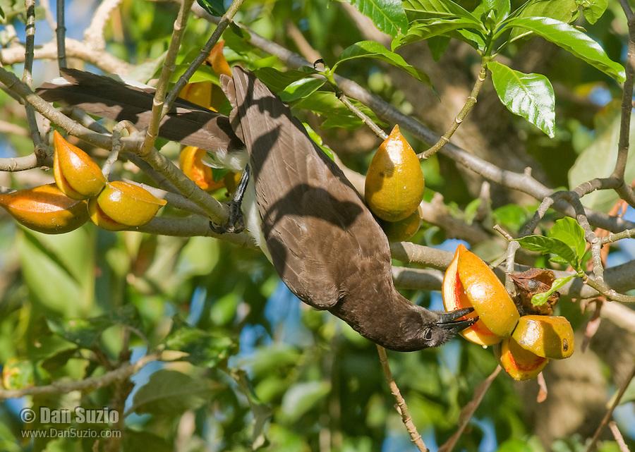Brown jay, Cyanocorax morio, eating fruits of Stemmadenia litoralis (Stemmadenia galeottiana). Hotel Bougainvillea, San Jose, Costa Rica