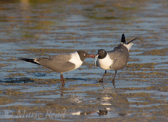 Laughing Gulls (Larus atricilla), courting pair, one offers fish to its mate, Fort De Soto Park, Florida, USA