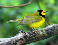 Adult male hooded warbler in April