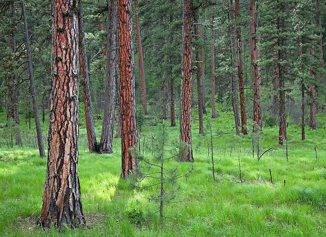 sunlight on ponderosa pine forest floor Oregon