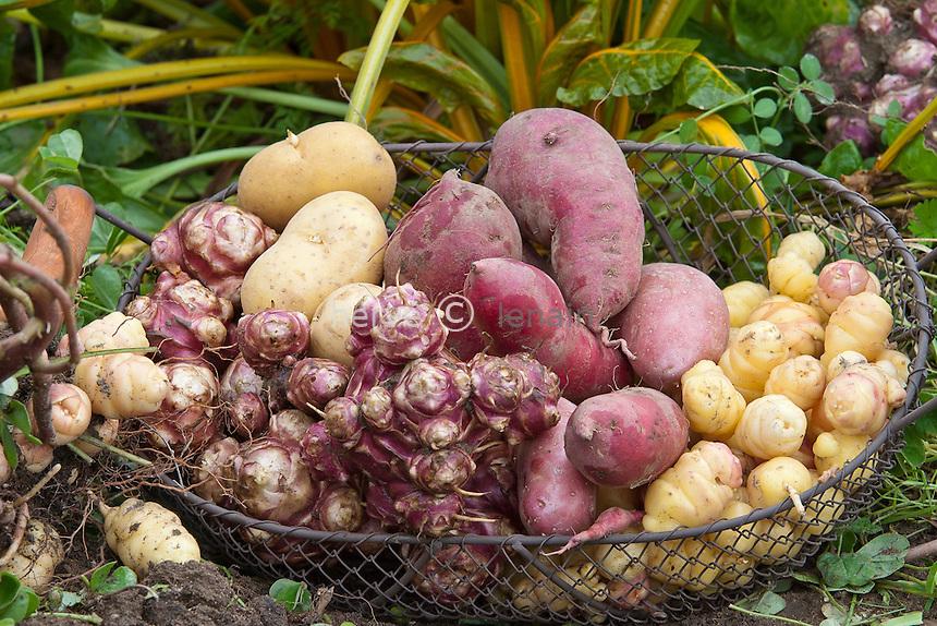 Récolte de légumes tubercules :.Pomme de terre, topinambour, patate douce et oca // Vegetable harvest Tuber.Potato, Jerusalem artichoke, sweet potato and oca (oka, or New Zealand Yam, Oxalis tuberosa)