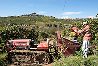 Raccolta dell'uva ai vigneti dei signori Franchini presso Montescano (Pavia) nell'Oltrepò Pavese. Due lavoratori fratelli pachistani con cittadinanza italiana assunti per la vendemmia --- Grape harvest at Franchini's vineyards near Montescano (Pavia) in the Oltrepò Pavese. Two workers brothers from Pakistan with italian citizenship employed for the harvest