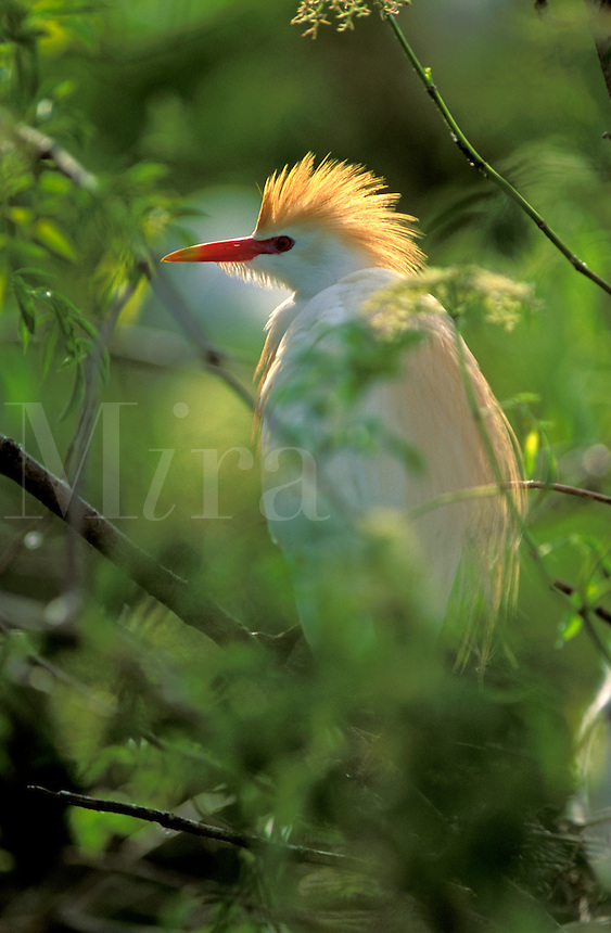 Cattle Egret (Bubulcus ibis) in breeding plumage, on the nest, south Florida