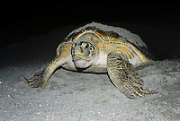 Green sea turtle [Chelonia mydas] has crawled ashore, excavated a nest and dropped it's eggs. Exhausted, it now returns to the ocean, Florida.