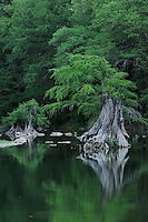 Bald Cypress (Taxodium distichum), Blanco River, Wimberley, Hays County, Central Texas, USA