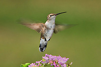 549750008 a wild female black-chinned hummingbird archilochus alexandri hovers over wildflowers in the hill country of central texas
