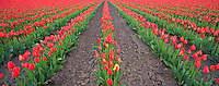 Field of red tulips and one yellow tulip panormia. Near Mt. Vernon. Washington