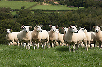 Aberfield ewes grazing in Derbyshire<br /> ©Tim Scrivener Photographer 07850 303986<br />      ....Covering Agriculture In The UK....