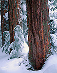 Mount Baker-Snoqualmie National Forest, WA <br /> Heavy snow in forest of Douglas Fir (pseudotsuga menziesii) near Denny Creek