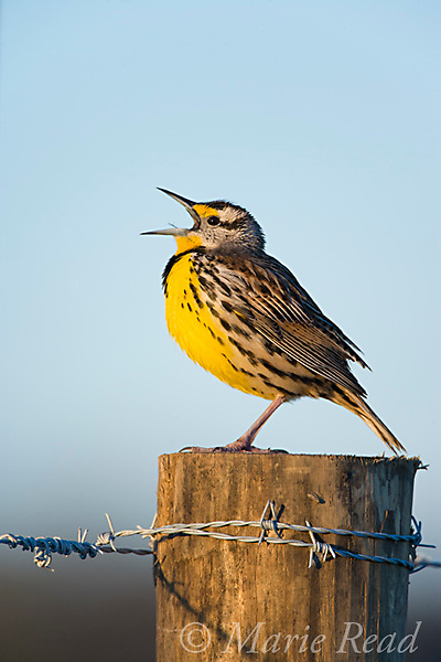 Eastern Meadowlark (Sturnella magna) male singing on a fencepost in spring, Osceola County, Florida, USA