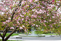 Kaido or Dwarf crabapple tree, Malus x micromalus flowering in San Francisco Botanical Garden by Fountain Plaza