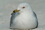 Ring Billed Gull, Larus delawarensis, sitting on beach, Florida Everglades. .USA....