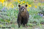 Young grizzly ber cub in wildflowers. Grand Teton National Park, Wyoming.