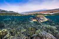 green sea turtle, Chelonia mydas, with Hualalai Volcano in the background, Kahaluu Beach Park, Keauhou, Kona Coast, Big Island, Hawaii, USA, Pacific Ocean