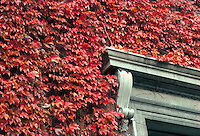 Ivy, Harvard Univ, Cambridge
