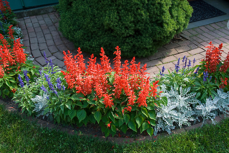 American patriotic garden plantings of red, white and blue annual flowers