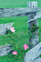 Wild rose and old fence. Near Alpine, Oregon.