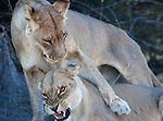 Botswana, Okavango Delta, Moremi; lionesses cuddling