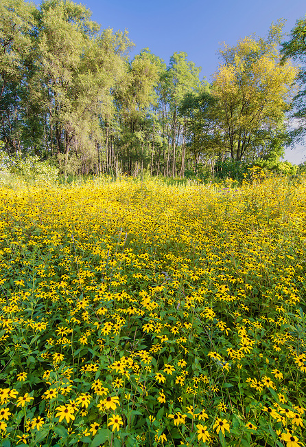 A field of Black-Eyed Susan wildflowers fill the eye's view at Rock Run Forest Preserve in Will County, Illinois