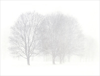 . Trees in very heavy snow. Barrington, Rhode Island