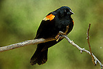 Red-winged blackbird Agelalus phoeniceus male singing