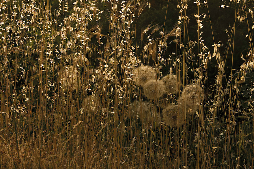 Goat's beard (Tragopogon pratensis) fruits and winter wild oat (Avena sterilis). Delta of the Neretva river (trans-boundary area Croatia-Bosnia-Herzegovina/Croatia),  Dalmatia region, Croatia.  May 2009<br /> Elio della Ferrera / Wild Wonders of Europe