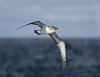 Cory's Shearwater Calonectris diomedea visit to feed from the Mediterranean and Atlantic islands which is quite a journey.
