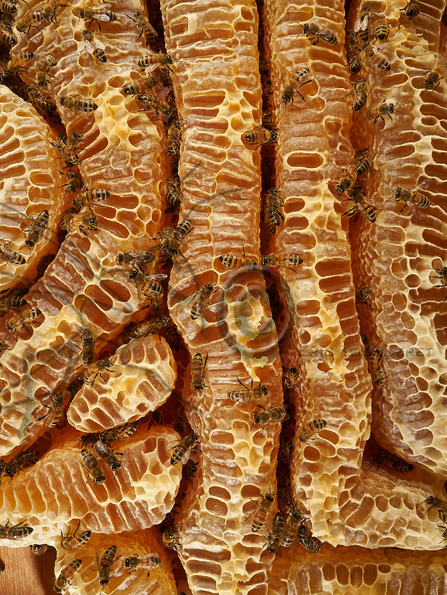 Bees on the honey combs of a natural wax construction. The making of the honey by the bee begins in its crop during its flight back to the hive, thanks to an enzyme that transforms the sucrose into glucose and fructose. Arriving in the hive, the foraging bee regurgitates the nectar into a recipient bee. Then the long task of dehydrating the soon to be honey begins. To do so, it is placed as a fine film on the inner walls of the cells and is fanned by the worker bees to cause the evaporation of the excess water. When the honey has reached the required degree of moisture, it is transferred to other cells that will be sealed.<br /> Abeilles sur les rayons de miel d&rsquo;une construction naturelle de cire. L&rsquo;&eacute;labore du miel par l&rsquo;abeille commence dans son jabot lors de son vol de retour &agrave; la ruche, gr&acirc;ce &agrave; une enzyme qui transforme le saccharose en glucose et en fructose. Arriv&eacute;e &agrave; la ruche, la butineuse r&eacute;gurgite le nectar que recueille une receveuse. Commence alors un long travail de manipulation, destin&eacute; &agrave; d&eacute;shydrater cette &eacute;bauche de miel. Pour cela, il est d&eacute;pos&eacute; par fines pellicules sur la paroi interne des cellules, et il est ventil&eacute; par les ouvri&egrave;res pour provoquer l&rsquo;&eacute;vaporation de l&rsquo;exc&eacute;dent d&rsquo;eau. Lorsque le miel a atteint le degr&eacute; d&rsquo;humidit&eacute; requise, il est transf&eacute;r&eacute; dans d&rsquo;autres alv&eacute;oles qui seront opercul&eacute;es.