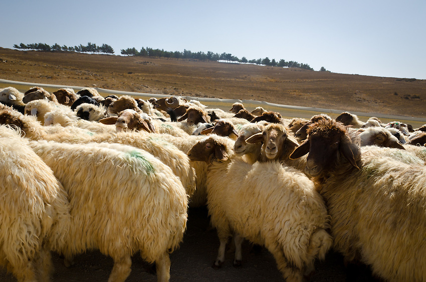 A herd of bedouin sheep on a dirt road near Dana, Jordan