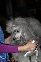 Grey Pudel sitting on the grooming table, being made ready for the show ring at the international dog show in prague may 2014. Showing owners arm holding a grooming brush.