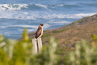 Perched on a post, this Red-tailed Hawk was spotted a hundred yards of so off of Highway 1, south of Half Moon Bay, CA.