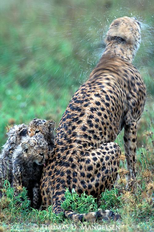 Cheetah with cubs (Acinonyx jubatus) in Tanzania, Africa