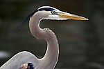 A great blue heron is always on the look out for a meal.  This bird, Slim, has become rather an urban bird, visiting my inlaws every morning for breakfast.