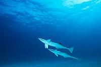remoras or sharksucker, Echeneis naucrates, Bahamas, Caribbean (Western Atlantic Ocean)
