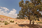 Israel, the Negev. Eucalyptus trees at the Large Crater
