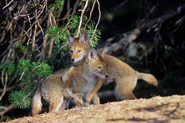 Two wild Coyote pups play near densite.  Western U.S., June.