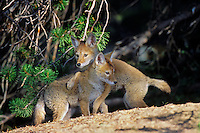 Two wild Coyote pups play near densite.  Western U.S., June.