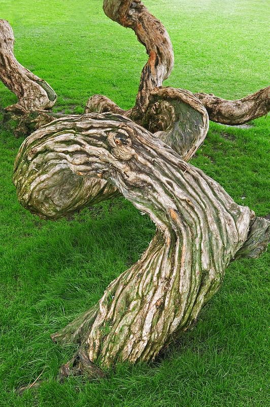 Meloluca (New Zealand Tea tree) in park in Santa Monica, California