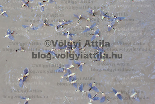 Dead insects are seen after the yearly few days long swarming of the long-tailed mayfly (Palingenia longicauda) on the river Tisza in Tiszainoka (some 135 km south-east from Budapest), Hungary on June 23, 2013. ATTILA VOLGYI<br /> The long-tailed mayfly larves live 3 years under water level in the river banks then swarm out for a one day period of their life to die after mating.