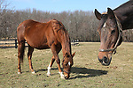 Irish Sovereign (L) grazes with other mares owned by the Haskell Sisters, Isabelle de Tomaso and Hope Jones at Overbrook Farm in Colts Neck, New Jersey.