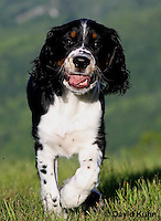 0730-0817  Tricolor English Springer Spaniel Puppy, Canis lupus familiaris © David Kuhn/Dwight Kuhn Photography.