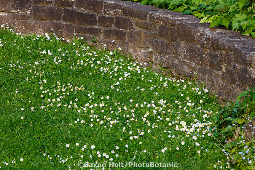 Grass meadowy lawn with flowering English Daisy (Bellis perennis) bt rock wall, Marin Art and Garden Center