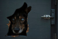 A sled dog waits to be put in a harness at the ceremonial start of the 2014 Iditarod Dogsled Race in downtown Anchorage, Alaska. Sixty-nine mushers paraded their teams through Anchorage today and will depart from the official start in Willow tomorrow to begin the 975-mile race to Nome.