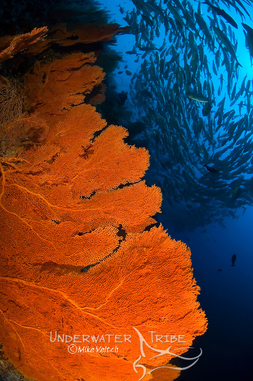 Gorgonian seafan, Subergorgia sp, and a school of horse eye jacks, Caranx sexfasciatus, Layang Layang atoll, Sabah, Malaysia, South China Sea, Pacific Ocean